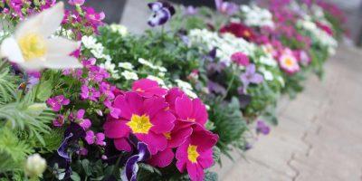 13c Farbenkombination für Schalenpflanzung Frühjahr pink weiß - Primula, Viola